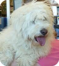 Cocker Spaniel/Poodle (Miniature) Mix Dog for adoption in Arlington, Texas - Alice