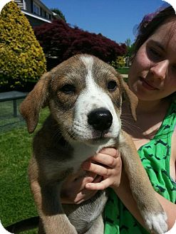 Siberian Husky/Australian Shepherd Mix Puppy for adoption in South Jersey, New Jersey - Dee Dee