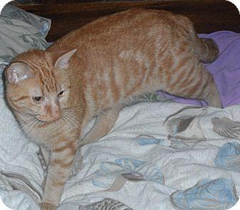 American Shorthair Cat for adoption in Pensacola, Florida - Junior