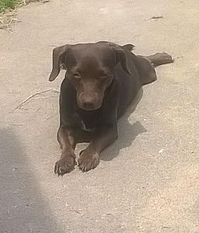 Dachshund/Chihuahua Mix Dog for adoption in Laconia, Indiana - Coco
