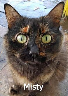 Domestic Mediumhair Cat for adoption in Walnut Creek, California - Misty