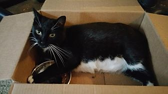 Domestic Shorthair Cat for adoption in Philadelphia, Pennsylvania - Tinxie