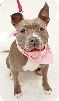 American Pit Bull Terrier Dog for adoption in Fredericksburg, Virginia - Thelma- Courtesy listing