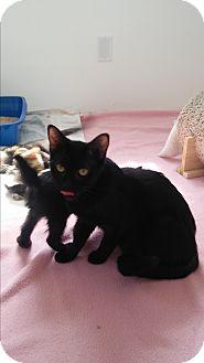 American Shorthair Cat for adoption in Westland, Michigan - Tina Fey