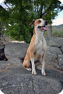 Australian Cattle Dog/Labrador Retriever Mix Dog for adoption in Mountain Center, California - Ayla