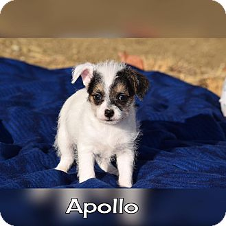 Terrier (Unknown Type, Small) Mix Puppy for adoption in Rosamond, California - Apollo