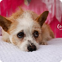 Adopt A Pet :: Cookie - San Antonio, TX