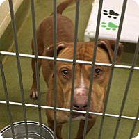 Pit Bull Terrier Mix Dog for adoption in San Bernardino, California - Rusty  URGENT! Moreno Valley