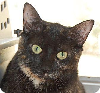 Calico Cat for adoption in Hot Springs, Arkansas - Kibbie
