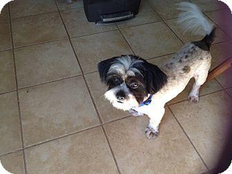 Shih Tzu/Havanese Mix Dog for adoption in Flower Mound, Texas - Gizmo