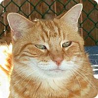 Domestic Shorthair Cat for adoption in Carmel, New York - O'Neil