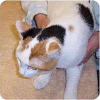 Domestic Shorthair Cat for adoption in Stuarts Draft, Virginia - Pebbles