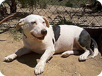 Basset Hound/Terrier (Unknown Type, Medium) Mix Dog for adoption in Porter Ranch, California - Potato(BRN)