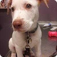 Adopt A Pet :: HAWKEYE - Higley, AZ