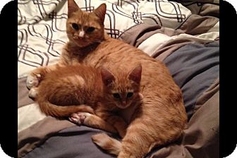 Domestic Shorthair Cat for adoption in Pittstown, New Jersey - Nala