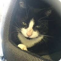 Adopt A Pet :: Felix - Edmonton, AB