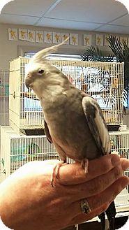 Cockatiel for adoption in Lenexa, Kansas - Paquito