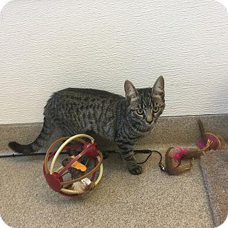 Domestic Shorthair Kitten for adoption in Peace Dale, Rhode Island - Etta