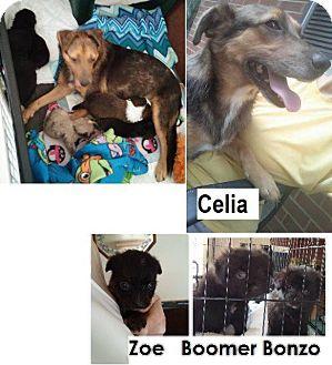 Shepherd (Unknown Type) Mix Puppy for adoption in Danbury, Connecticut - Bonzo