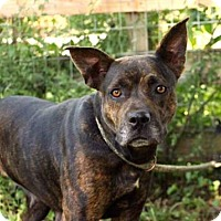 Adopt A Pet :: BRINDY - Norfolk, VA