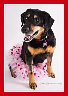 Rottweiler/Labrador Retriever Mix Dog for adoption in Mt. Clemens, Michigan - Kyara