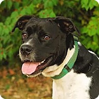 Pit Bull Terrier Mix Dog for adoption in Cincinnati, Ohio - Mandy - SPONSORED