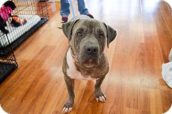 Pit Bull Terrier/American Staffordshire Terrier Mix Dog for adoption in Knoxville, Tennessee - Buddy
