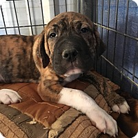 Adopt A Pet :: Herbie pending adoption - Manchester, CT