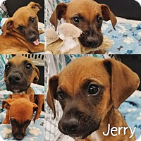 Adopt A Pet :: JERRY - Orland Park, IL