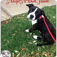Adopt A Pet :: Jewel - Austin, TX