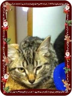 Domestic Shorthair Kitten for adoption in Harrisonburg, Virginia - Misty