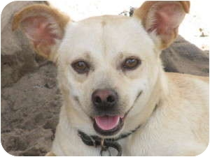 Chihuahua Mix Dog for adoption in East Hartford, Connecticut - Ringo