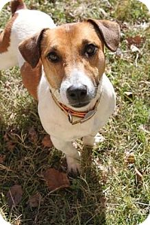Jack Russell Terrier Mix Dog for adoption in Lufkin, Texas - Bentley