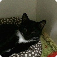 Domestic Shorthair Cat for adoption in Maryville, Tennessee - Maria