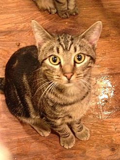 Domestic Shorthair Cat for adoption in Wichita Falls, Texas - Aiden