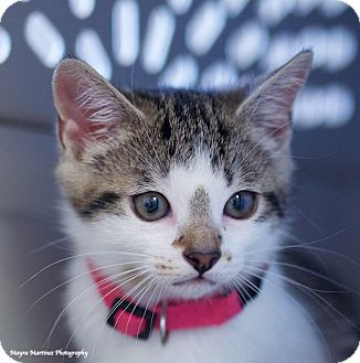 Domestic Shorthair Kitten for adoption in Chattanooga, Tennessee - Darby