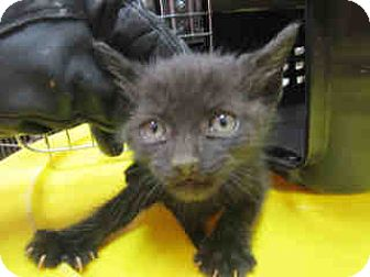 Domestic Shorthair Kitten for adoption in Newnan City, Georgia - Pepe