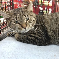 Domestic Shorthair Cat for adoption in Great Mills, Maryland - Amelia