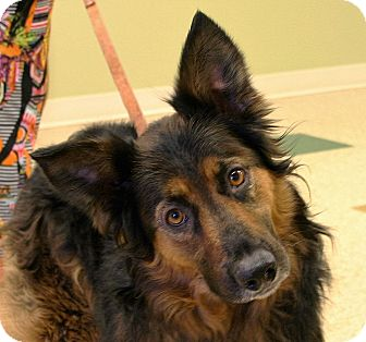 German Shepherd Dog/Australian Shepherd Mix Dog for adoption in Hastings, Nebraska - Josie