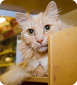 Domestic Longhair Cat for adoption in Irvine, California - Maripoo