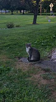 Domestic Shorthair Cat for adoption in Trexlertown, Pennsylvania - Mom Cat*