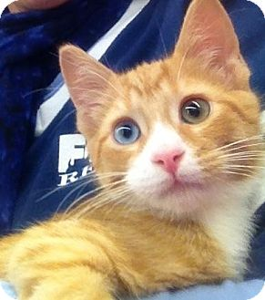 Domestic Shorthair Kitten for adoption in Wayne, New Jersey - Heathcliff