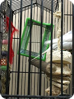 Parakeet - Other for adoption in Punta Gorda, Florida - Mojo