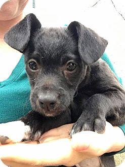 Miniature Schnauzer/Chihuahua Mix Puppy for adoption in Hagerstown, Maryland - Sugarplum (RBF)