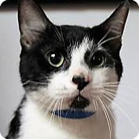 Domestic Shorthair Cat for adoption in Daytona Beach, Florida - Nolan
