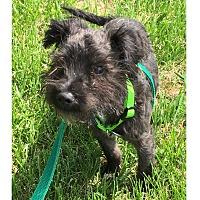 Terrier (Unknown Type, Medium) Mix Puppy for adoption in LaGrange, Kentucky - GORDIE