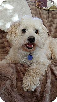 Cockapoo Mix Dog for adoption in Santa Barbara, California - Robbie