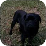 Pug Dog for adoption in Windermere, Florida - Skipper