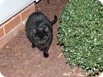 Domestic Shorthair Cat for adoption in Stafford, Virginia - Lolly