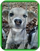 Feist/Shepherd (Unknown Type) Mix Puppy for adoption in Brattleboro, Vermont - Heather (In New England)